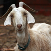 Se  or Billy Goat