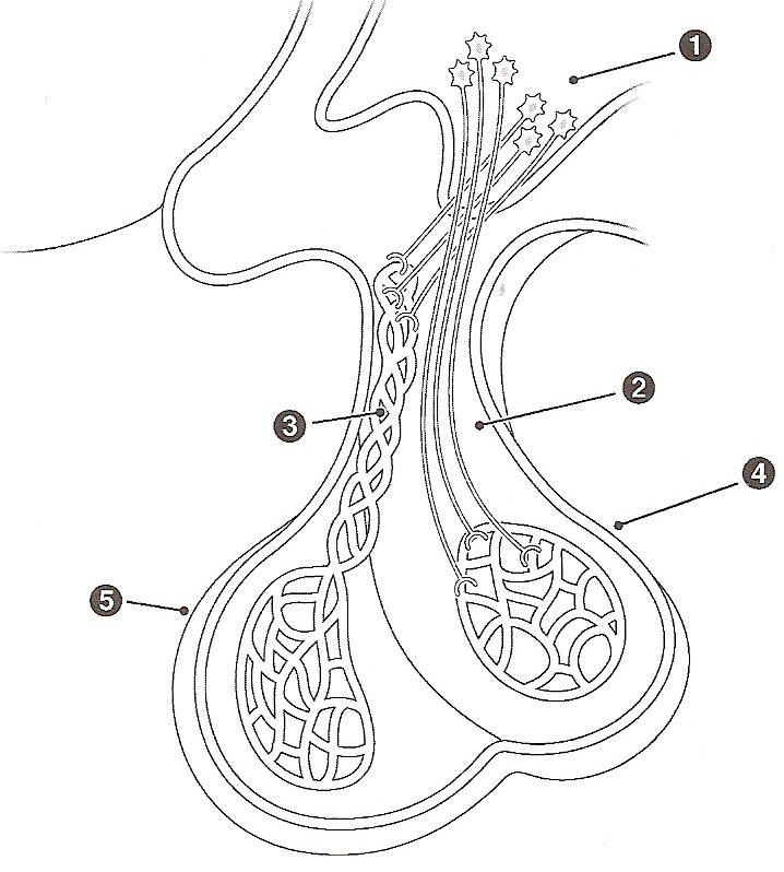 Endocrine Glands System Coloring Page Coloring Pages Endocrine System Coloring Pages