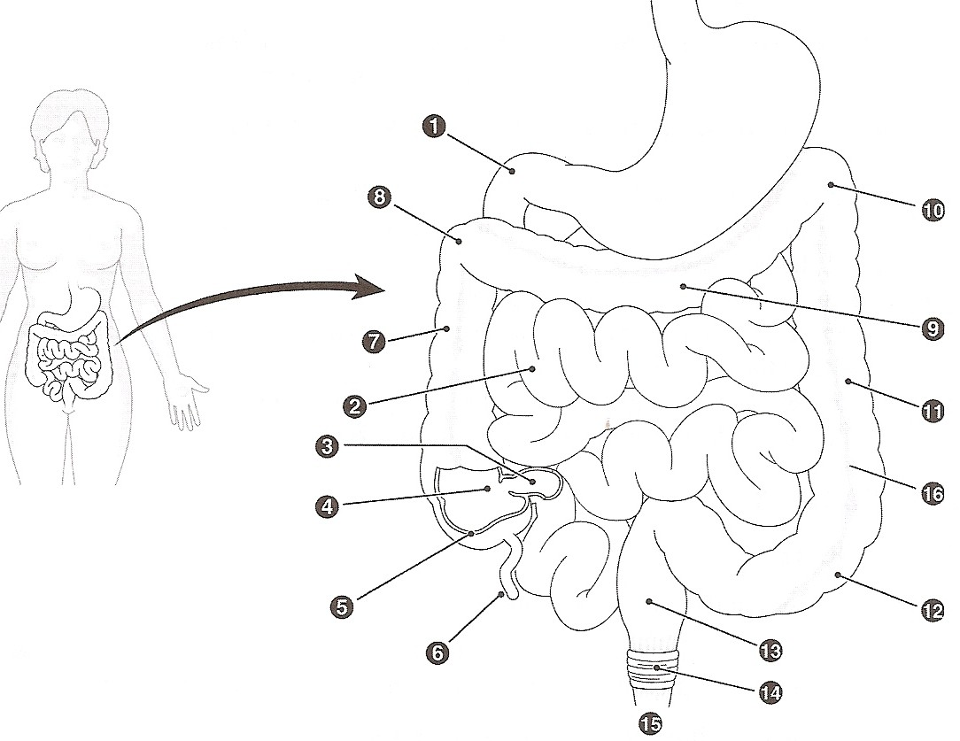 coloring pages digestive system - photo#12