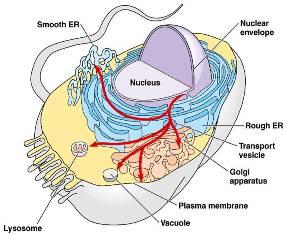 Yang mana dari organel berikut yang paling jauh hubungannya dengan sistem endomembran?