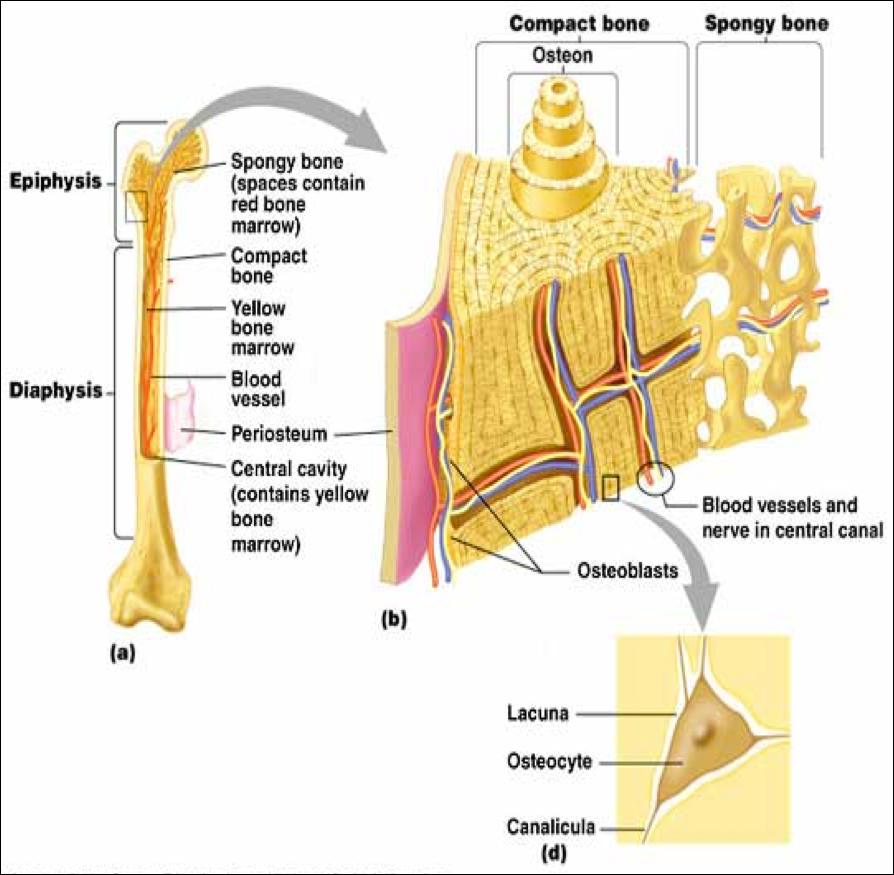Anatomy, Physiology & Pathology of the Human Eye